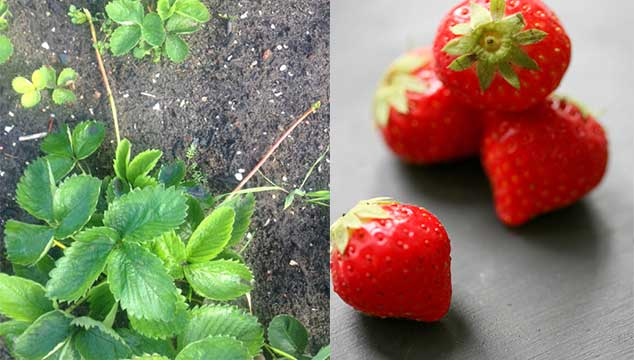 Aardbeienplanten nu planten en stekken.